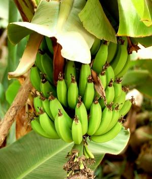 https://t-position.com/joomla/images/sampledata/fruitshop/bananas_2.jpg